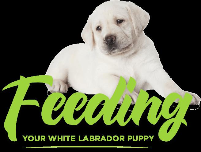 labrador nine month puppy diet